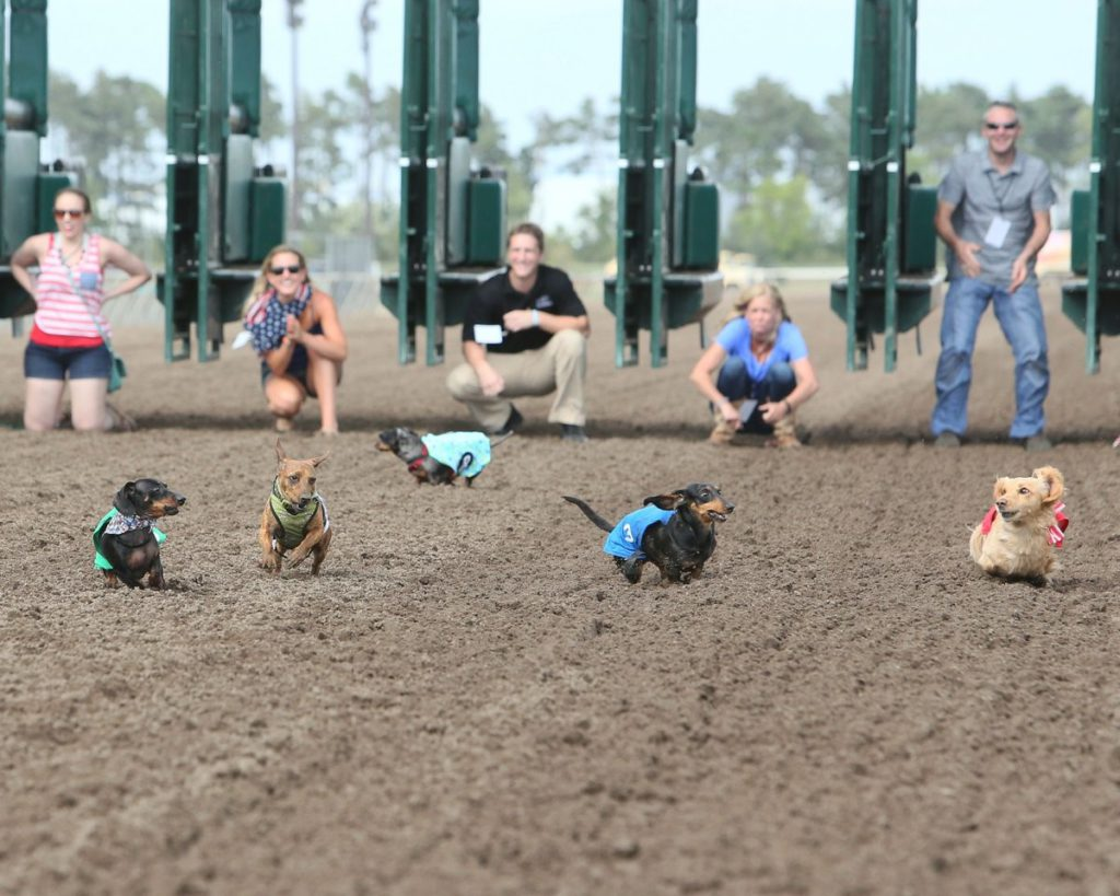 Wiener Dog Wars at Canterbury Park