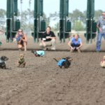 Wiener Dog Wars at Canterbury Park