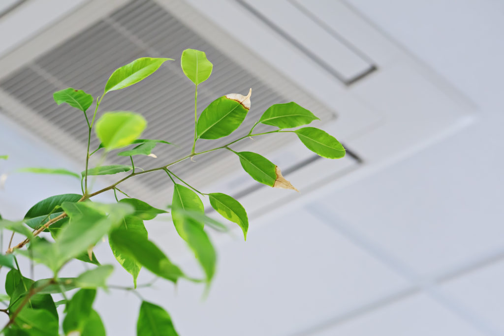 Ficus green leaves on the background ceiling air conditioner in modern office or at home.